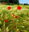 champs & coquelicots