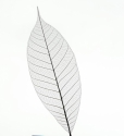 Dry transparent leaf  isolated on white background
