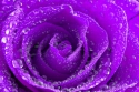 Rose with Water Drops/ background