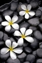 Set of frangipani flowers on pebble